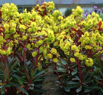 Euphorbia amygdaloides 'Purpurea' 5 flower