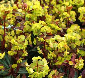 Euphorbia amygdaloides 'Purpurea' 6 flower
