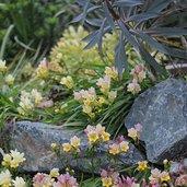 Freesia caryophyllacea
