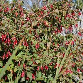 Fuchsia 'Baby Chang'