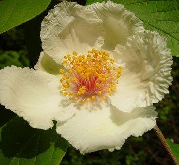 Stewartia ovata 1 flower