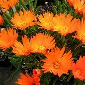 Lampranthus aureus [orange form]