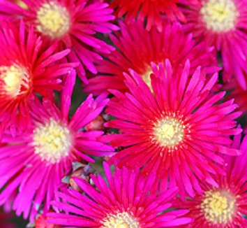 Lampranthus 'Hot Flash' 4 flower