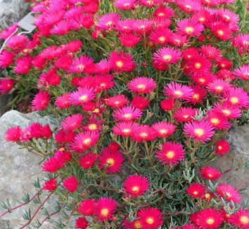 Lampranthus 'Hot Flash' 1 flower