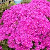 Lampranthus 'Pink Kaboom'