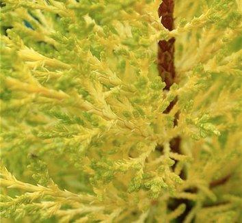 Cupressus macrocarpa 'Citriodora' 1