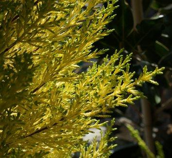 Cupressus macrocarpa 'Citriodora' 6