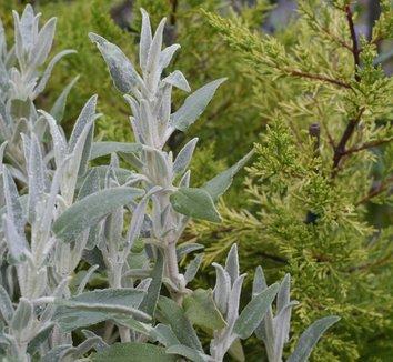 Cupressus macrocarpa 'Citriodora' 7