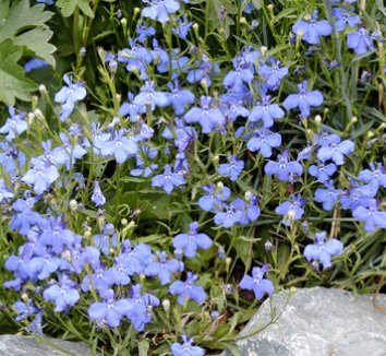 Lobelia erinus 'Fountain Blue' 1 flower, form
