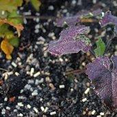Lunaria annua 'Rosemary Verey'