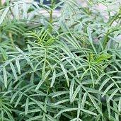 Melianthus pectinatus