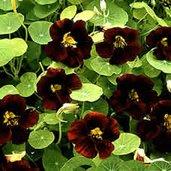 Tropaeolum 'Black Velvet'