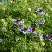 Nigella hispanica 'Curiosity'