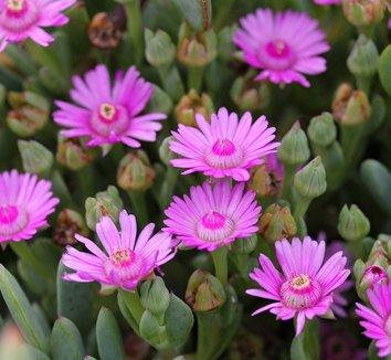 Oscularia caulescens 1 flower