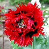Papaver 'Naughty Nineties'