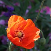 Papaver 'Orange Chiffon'