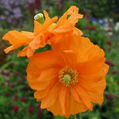 Papaver atlanticum 'Flore Pleno'