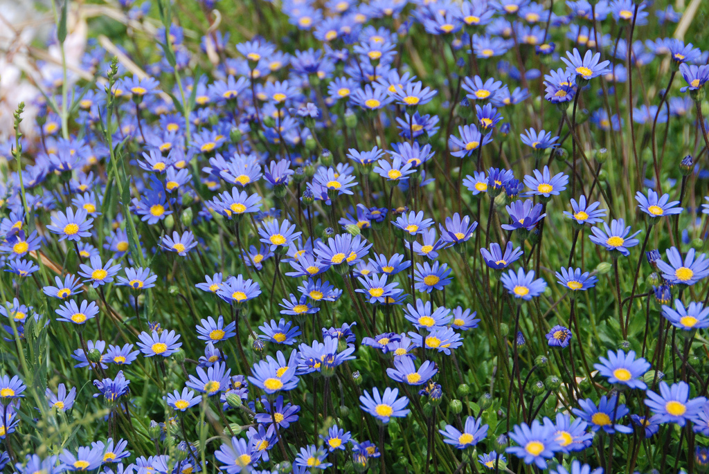Felicia Aethiopica Tight Tidy Blue Marguerite Daisy Plant.