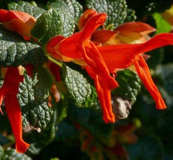 Salvia regla 2 flower