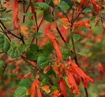 Salvia regla 10 flower
