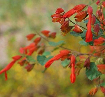 Salvia regla 9 flower