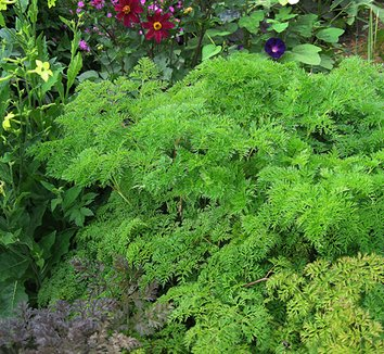 Selinum wallichianum 4 form