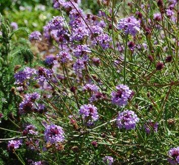 Verbena lilacina 'De La Mina' 4 flower