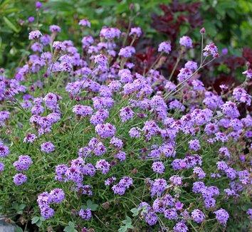 Verbena lilacina 'De La Mina' 5 flower