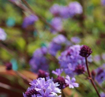 Verbena lilacina 'De La Mina' 8 flower