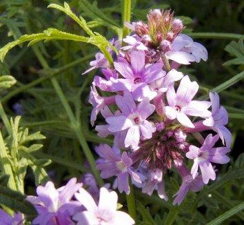 Verbena lilacina 'De La Mina' 9