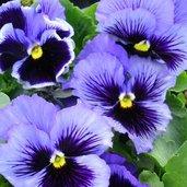 Viola 'Fizzle Sizzle Blue'