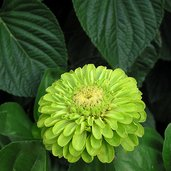 Zinnia elegans 'Benary's Giant Lime'