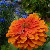 Zinnia elegans 'Benary's Giant Orange'