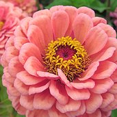 Zinnia elegans 'Benary's Giant Salmon Rose'