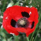 Papaver 'Greek'