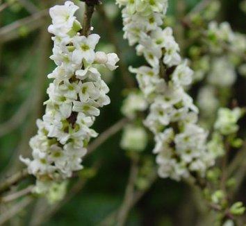 Daphne mezereum 'Alba' 1 flower