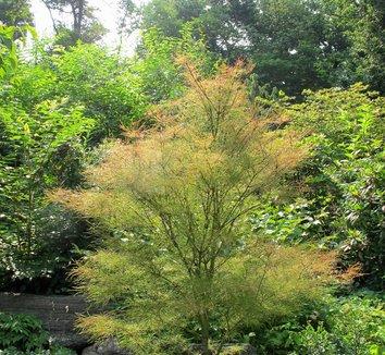 Acer Palmatum Fairy Hair Acer Palmatum Fairyhair