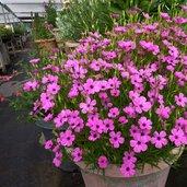 Viscaria oculata 'Pink'