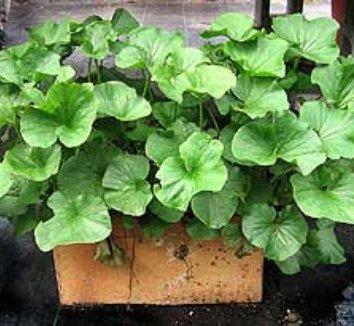Image result for river pumpkin plant gunnera