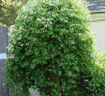 Clematis terniflora 10 form