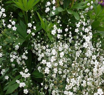 Omphalodes linifolia 6 flower