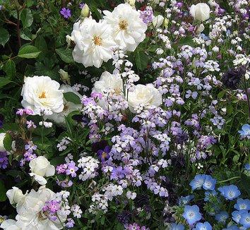 Malcolmia maritima 3 flower, form