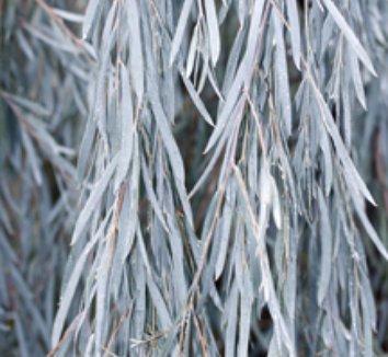Acacia pendula 3 form