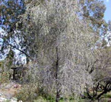 Acacia pendula 4 form