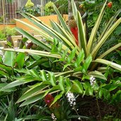 Aechmea ornata var. nationalis