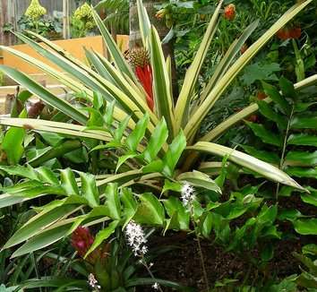 Aechmea ornata var. nationalis 1 form