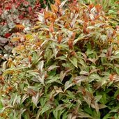 Persicaria 'Chocolate Dragon'