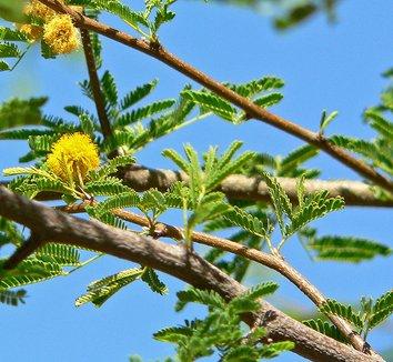 Acacia farnesiana 4 flower