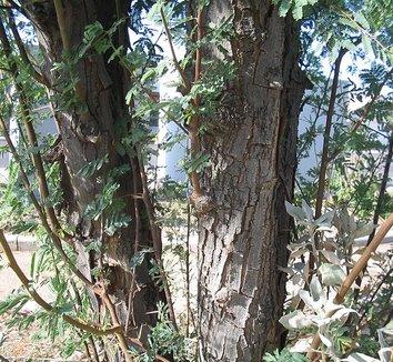 Acacia farnesiana 2