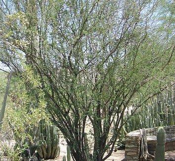 Acacia farnesiana 7 form